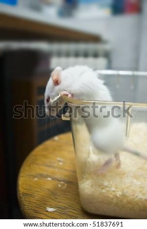 laboratory rat peeking outside of bowl - stock photo