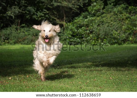 Labradoodle - stock photo