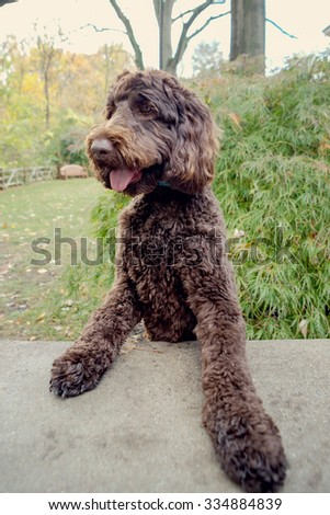 Labradoodle being silly at the park - stock photo