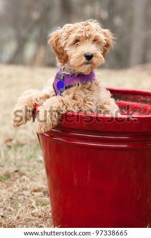 Labradoodle puppy which is part Labrador Retriever and Poodle. It is in a flower pot with paws on the side looking cute. - stock photo