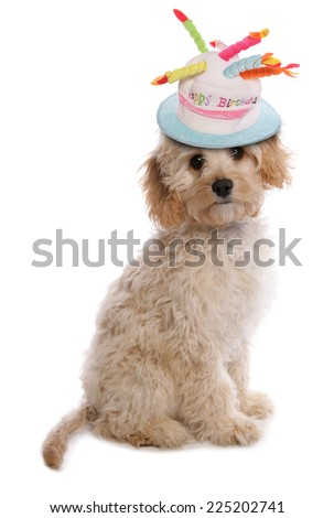 labradoodle puppy with birthday hat - stock photo