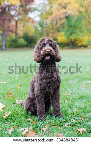 Labradoodle,sitting at the park - stock photo