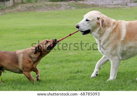 Labrador and a terrier dog playing tug with a rope toy - stock photo