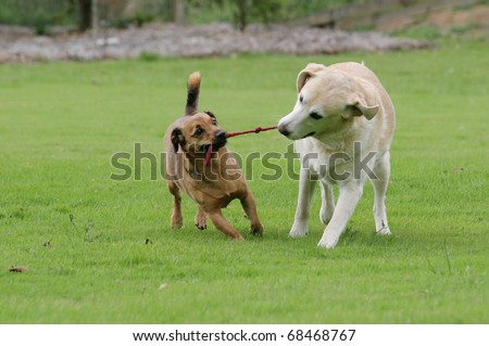 Labrador and a terrier playing tug with a rope toy - stock photo