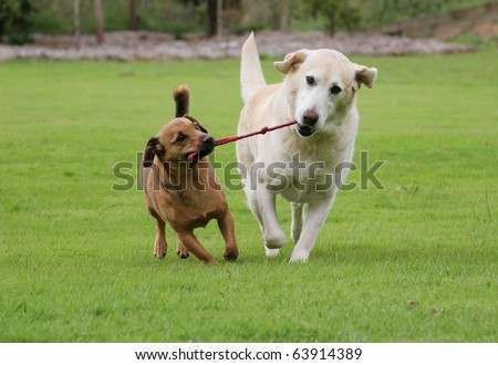Labrador and a terrier walking along pulling on their rope toy - stock photo