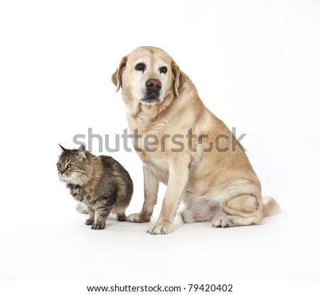 labrador and cat together in studio, cat and dog