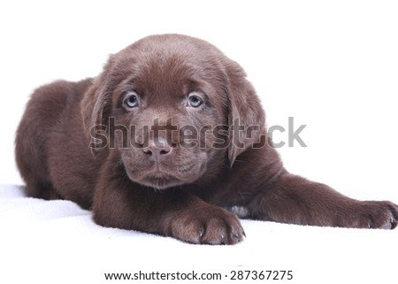 Labrador, brown, puppy