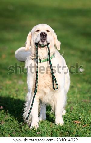 Labrador dog  - stock photo