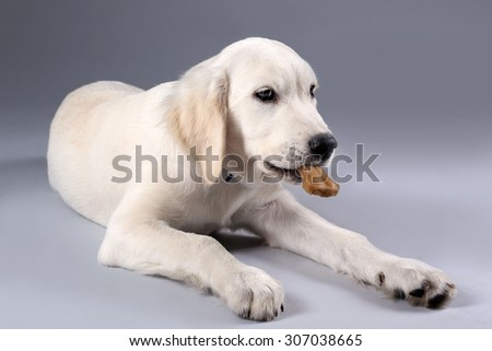 Labrador dog chewing bone on grey background - stock photo