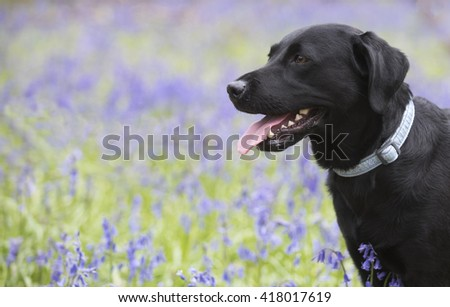 labrador dog in blue flowers  in spring - stock photo