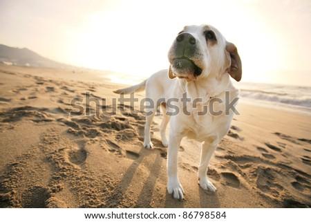 Labrador dog in the beach - stock photo