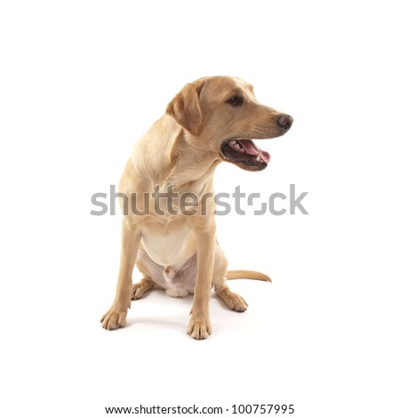 Labrador dog isolated on white