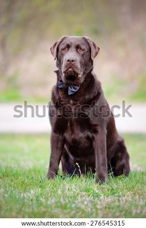 labrador dog outdoors - stock photo