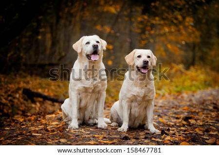 Labrador dog outdoors the autumn - stock photo
