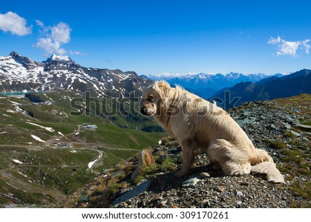 Labrador dog sits on the edge of the cliff looking down with mountain peaks in the background in Breuil-Cervinia, Italy - stock photo