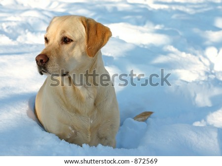 Labrador enjoying the snow - stock photo