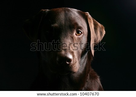 Labrador Face - Light and Dark - stock photo