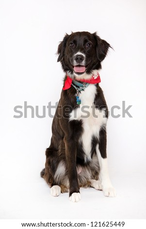 Labrador, German shepherd,  border collie isolated on white with christmas collars - stock photo
