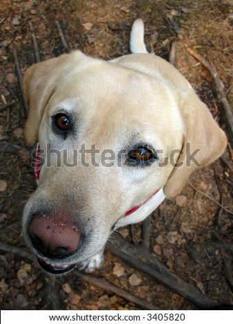 Labrador 03, hungry dog named Feline - stock photo