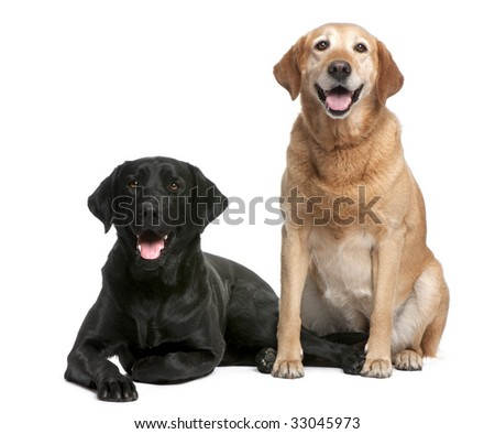Labrador in front of a white background - stock photo