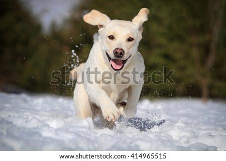 labrador in snow - stock photo