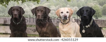 Labrador in the countryside - stock photo