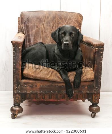 Labrador in vintage chair - stock photo