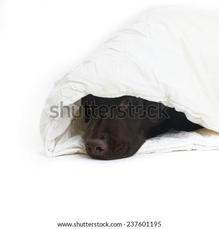 Labrador in white blanket - stock photo