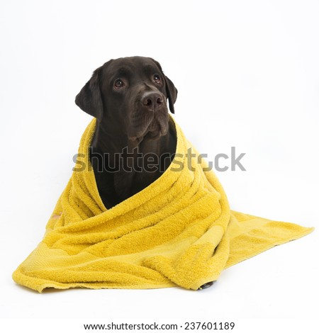 Labrador in yellow towel - stock photo