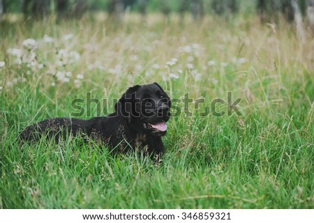 Labrador lies on the grass