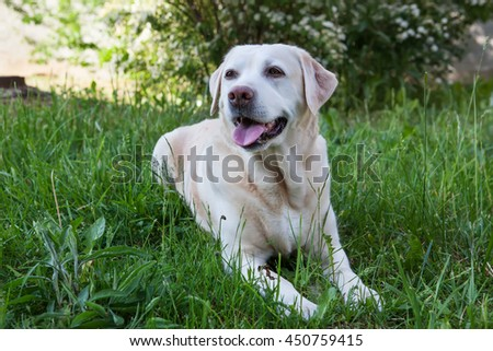 Labrador lying in the green grass