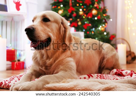 Labrador lying on plaid on wooden floor and Christmas decoration background - stock photo
