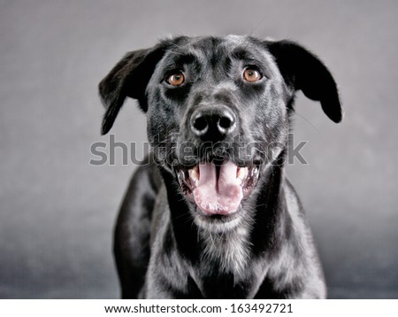 labrador mixed breed (67), Studio Shot - stock photo