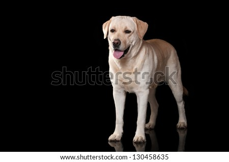 Labrador on black background