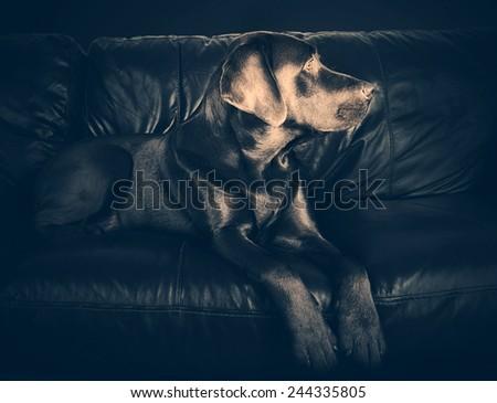 Labrador on Sofa - stock photo