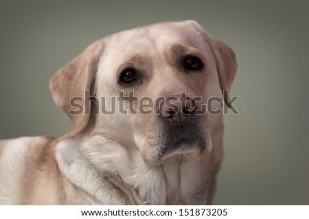 Labrador portrait  - stock photo