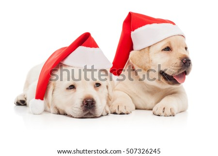 Labrador puppies in a Santa Claus hat