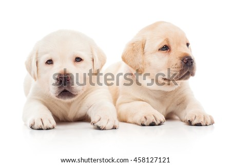 Labrador puppies, isolated on white