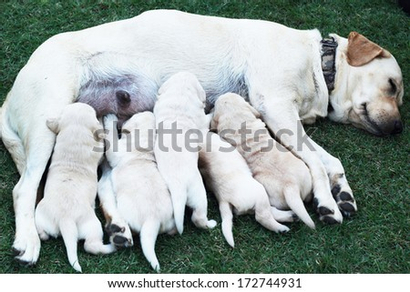 Labrador puppies sucking milk from mother dog breast. - stock photo