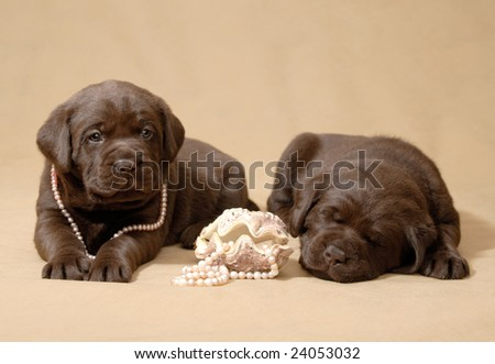 labrador puppies with pearls - stock photo
