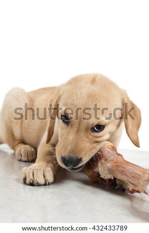 Labrador puppy chewing a large bone - stock photo