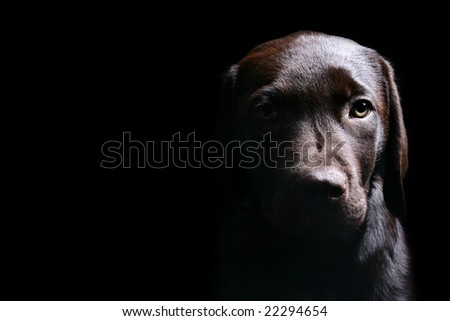 Labrador Puppy Head On against a Black Background - stock photo