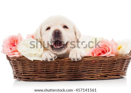 Labrador puppy in a basket with flowers