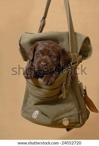 labrador puppy in the bag - stock photo