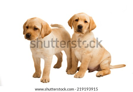 labrador puppy isolated on white background - stock photo