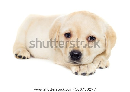 labrador puppy, looking