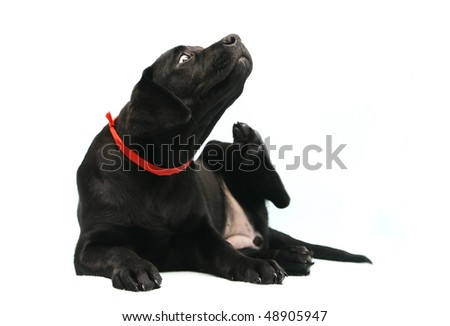 ... puppy, 3 months old, scratching in front of white background - stock