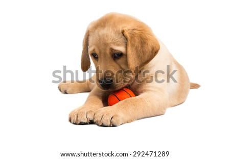 labrador puppy on a white background - stock photo
