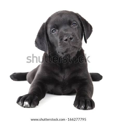 Labrador puppy on a white background in studio - stock photo