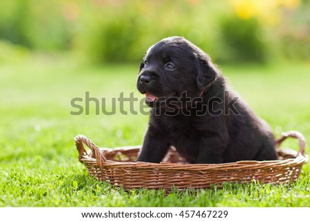 Labrador puppy outdoor summer